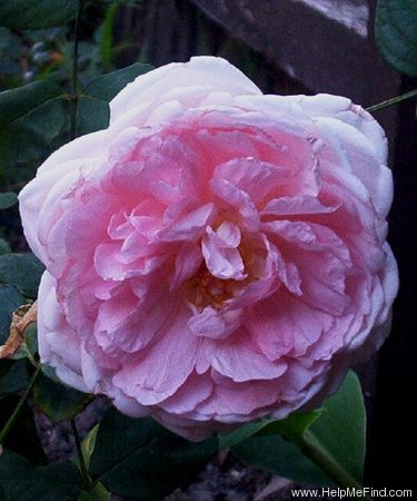 'Wife of Bath ®' rose photo
