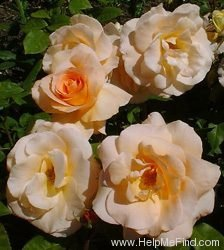 'Apricot Nectar' rose photo