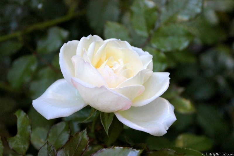 'White Gold (floribunda, Cocker, 1998)' rose photo