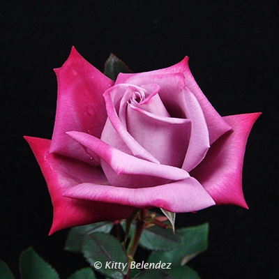 'Dr. John Dickman' rose photo