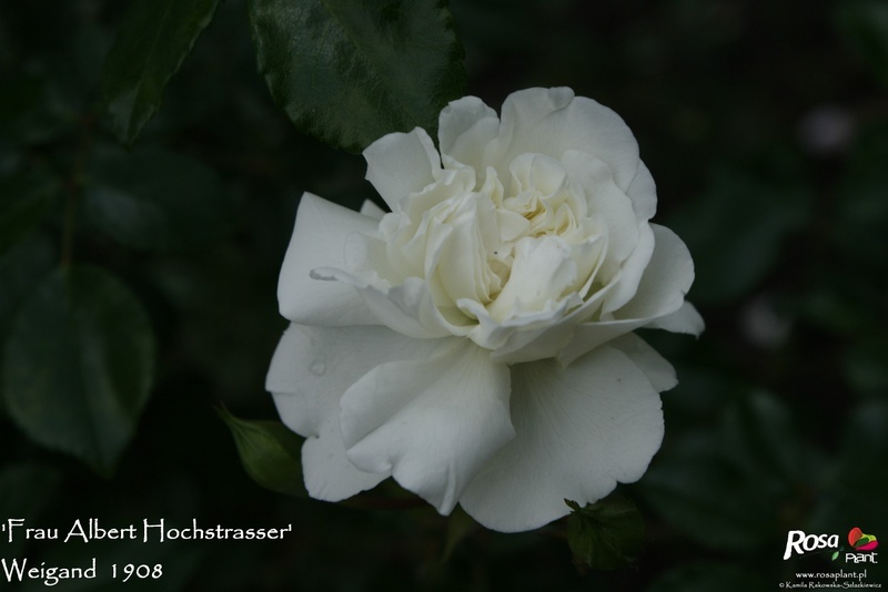 'Frau Albert Hochstrasser' rose photo