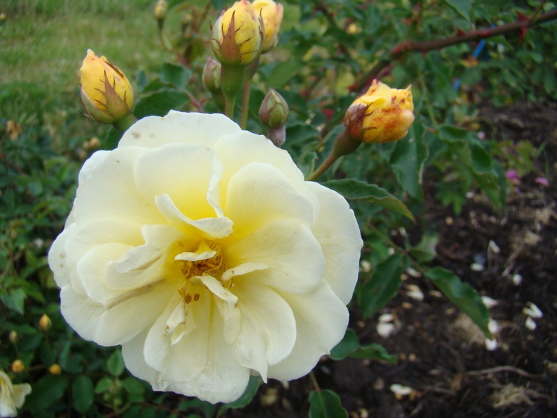 'Callisto' rose photo