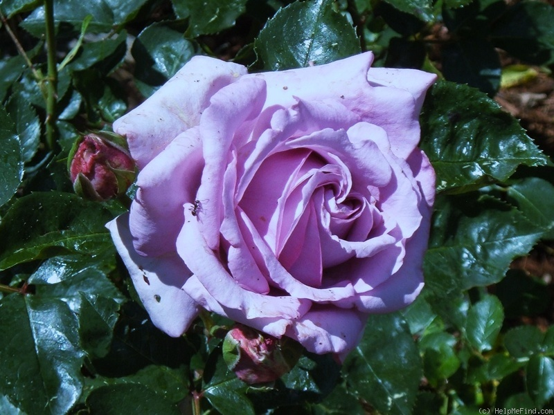 'Love Song (floribunda, Carruth 2011)' rose photo