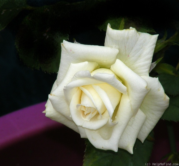 'Unbridled' rose photo