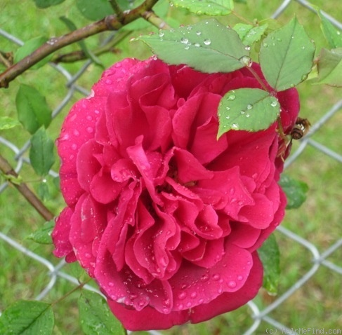 'Souvenir de Claudius Denoyel' rose photo