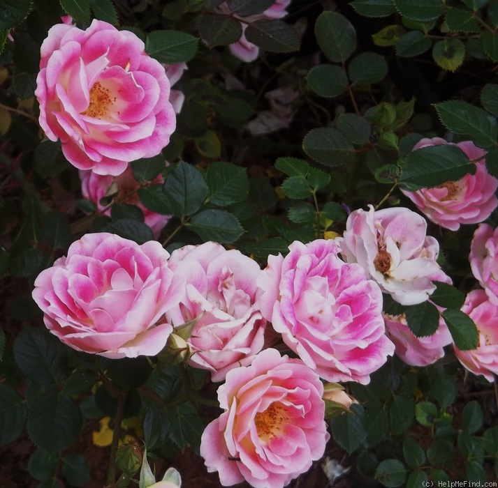 'Whimsy' rose photo