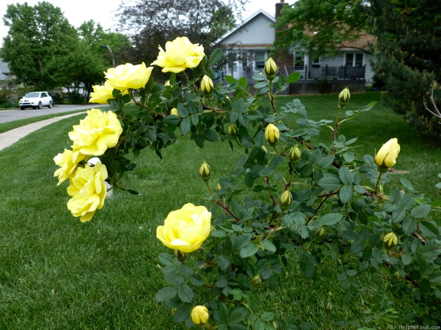 'Harison's Yellow' rose photo