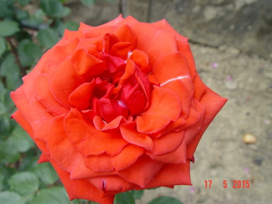 'Baccará ® (Hybrid Tea, Meilland, 1954)' rose photo
