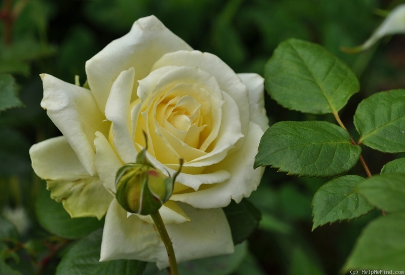 'Elfe ® (LCl, Evers/Tantau, 2000)' rose photo