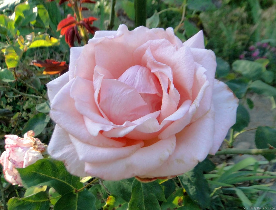 'Helen Keller ® (hybrid tea, Barni, 1991)' rose photo