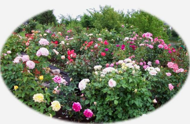 'Mark Vollmer's Rose Garden'  photo