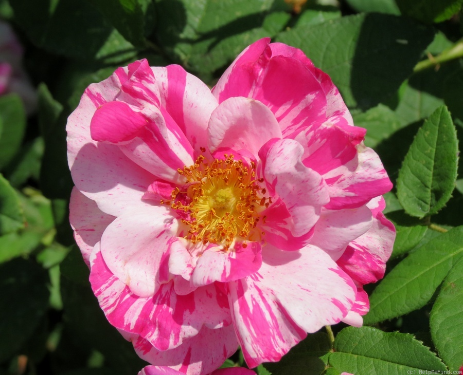'Versicolor (gallica, unknown, before 1581)' rose photo