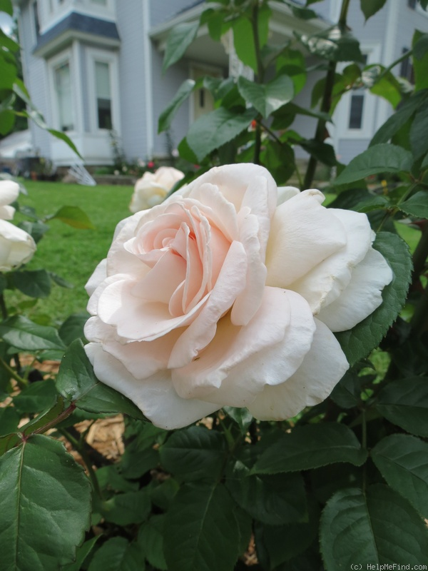'Francis Meilland' rose photo