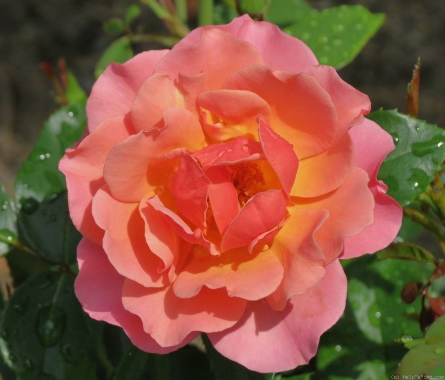 'Tequila Supreme' rose photo