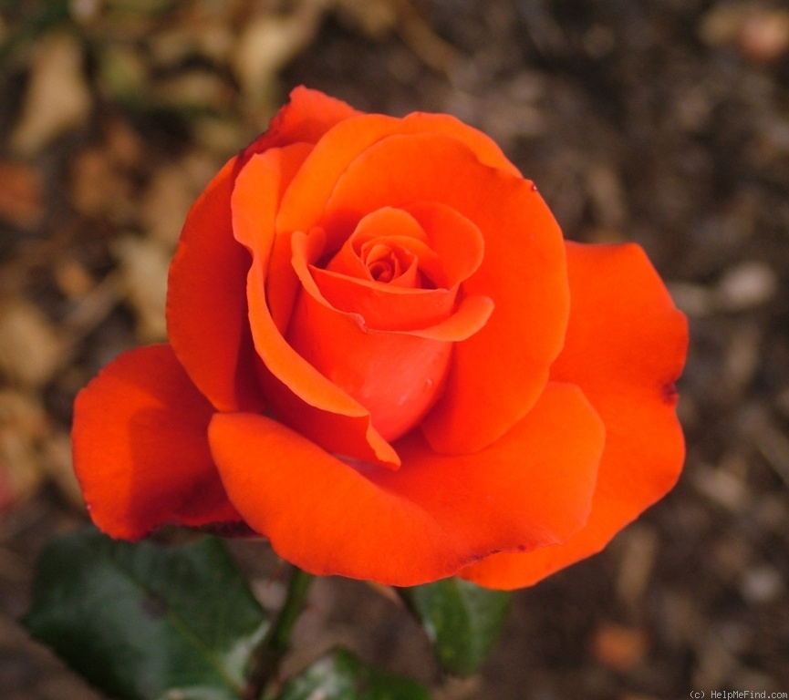 'Alpha (hybrid tea, Paolino, 1975)' rose photo