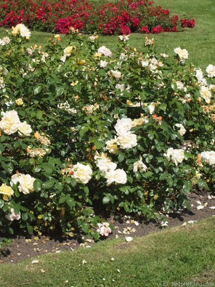 'Sunstar ® (floribunda, Kordes 1997/2007)' rose photo