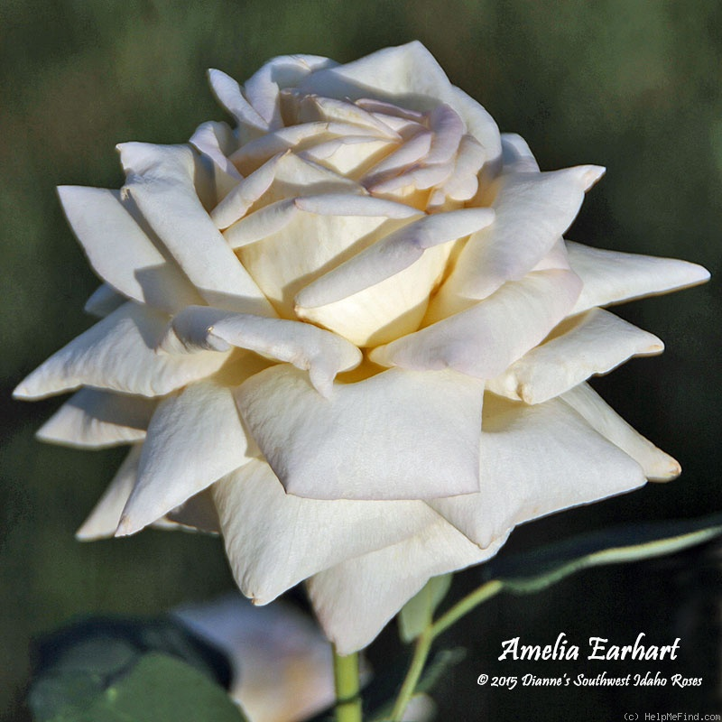 'Amelia Earhart (Hybrid Tea, Reymond, 1929)' rose photo