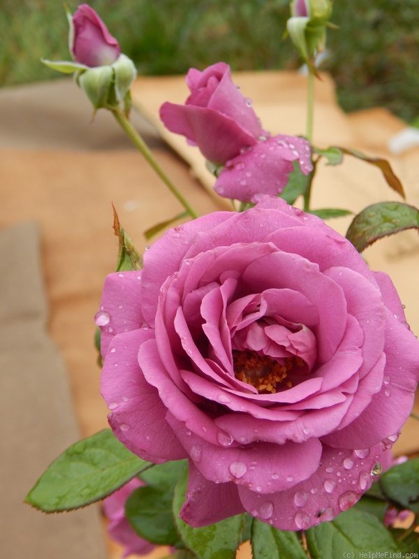 'Plum Perfect ™' rose photo