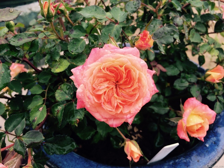 'Carnival Glass' rose photo