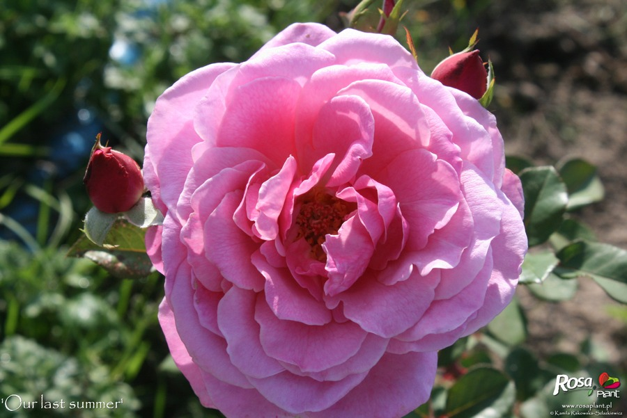 'Our last summer™ Plant'n'relax®' rose photo