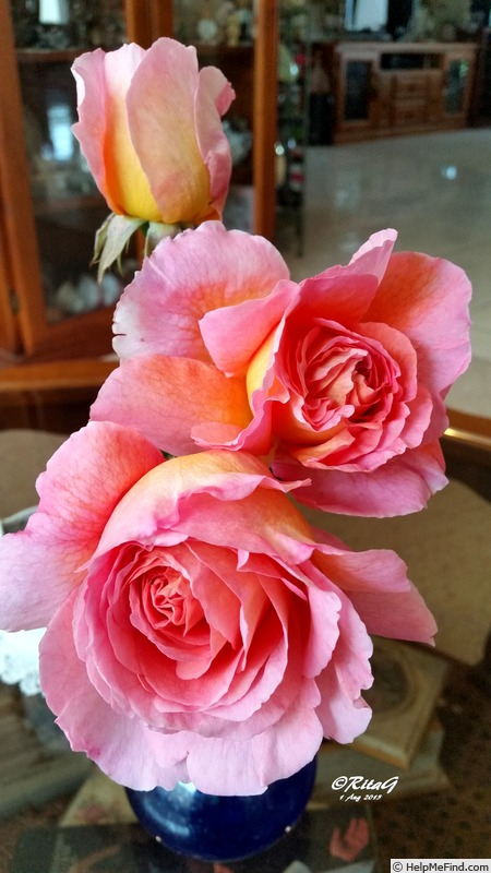 'Abraham Darby' rose photo