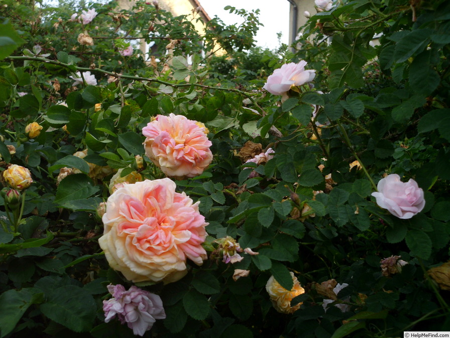 'Alchymist' rose photo
