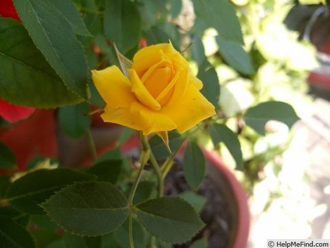 'Cal Poly ™' rose photo