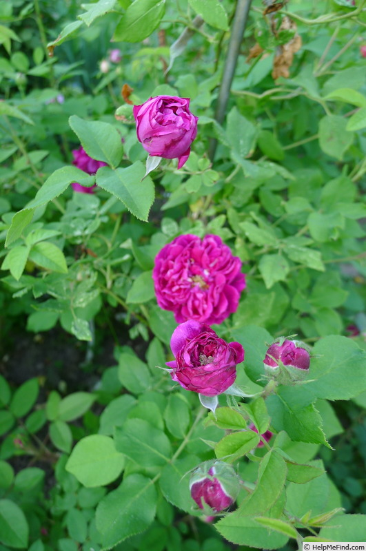 'Henry Irving' rose photo