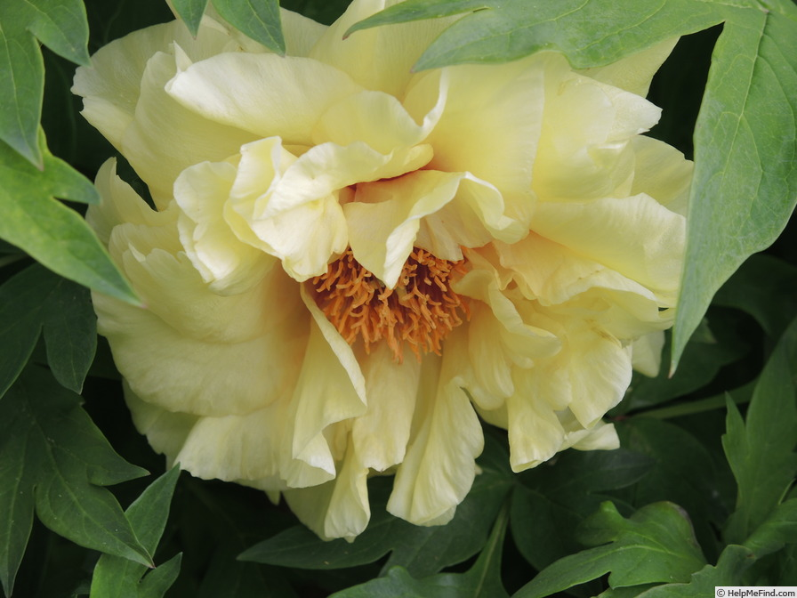 'Age of Gold' peony photo