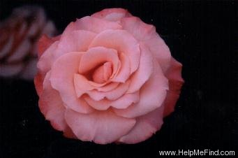 'Reflections' rose photo