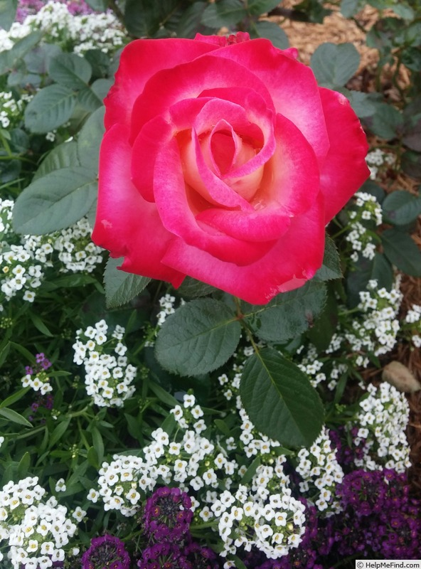 'Dick Clark' rose photo