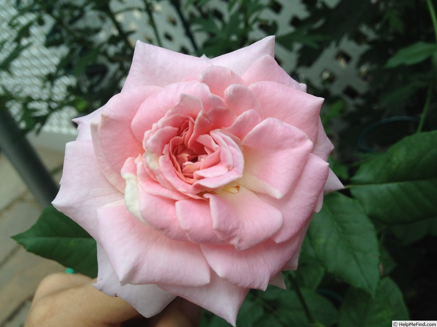 'Pink French Lace' rose photo