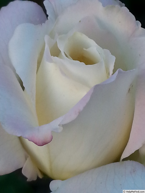 'White Lightnin'' rose photo