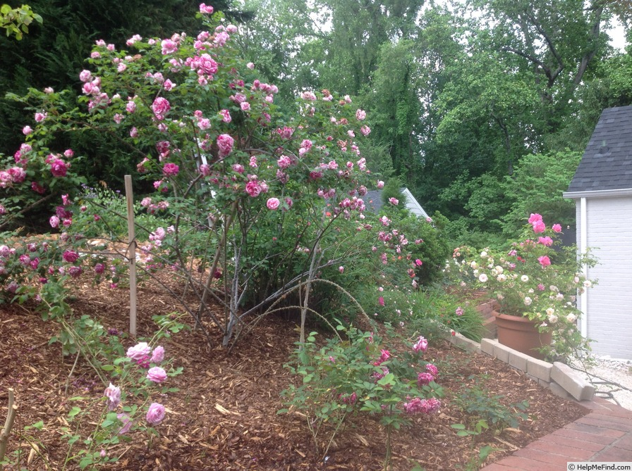 'Moore's Striped Rugosa' rose photo