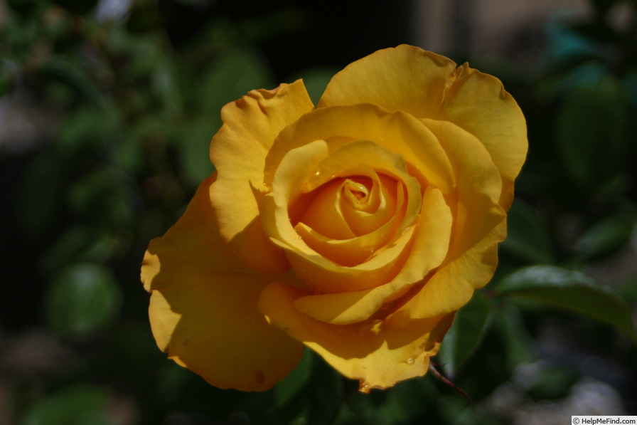 'Col Phil Ash' rose photo