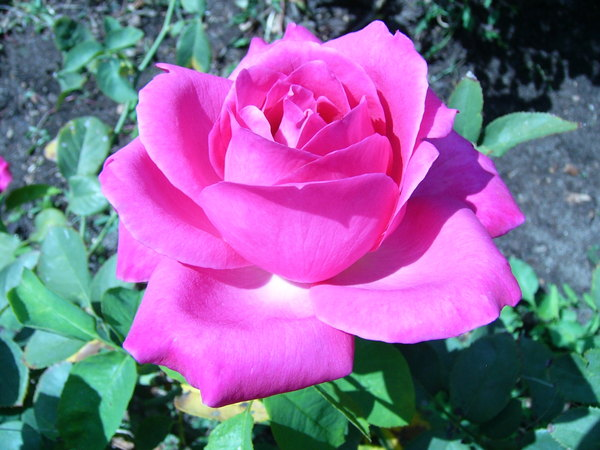 'Caprice de Meilland ®' rose photo