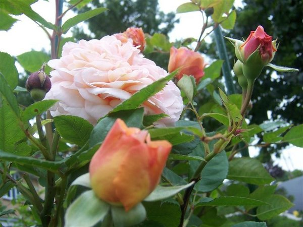 'Jayne Austin (shrub, Austin 1993)' rose photo