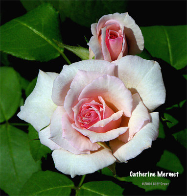 'Catherine Mermet' rose photo
