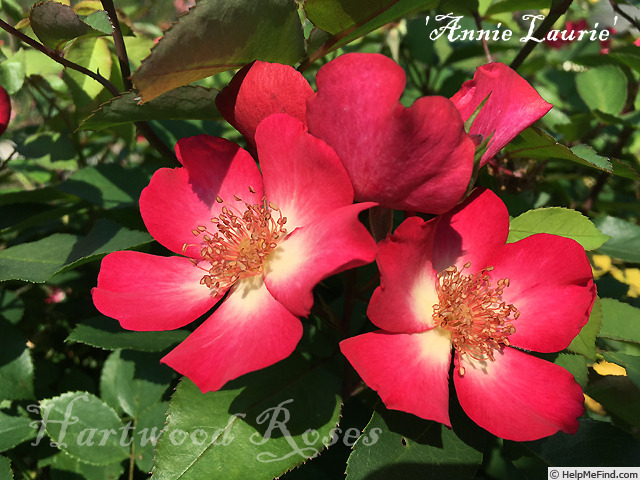 'Annie Laurie ™ (floribunda, Clements, 2001)' rose photo