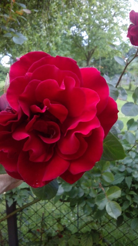 'Musimara ®' rose photo