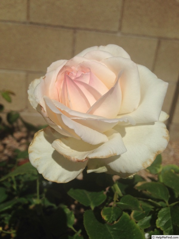 'Dermalogica Passion' rose photo