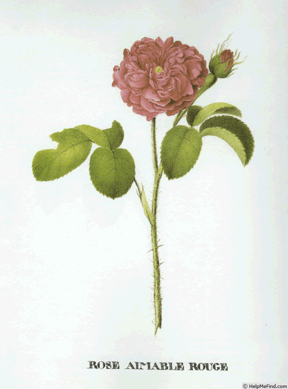 'Aimable Rouge (gallica, Schwarzkopf, pre 1783)' rose photo