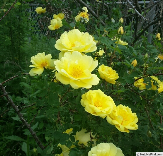 'Persian Yellow' rose photo