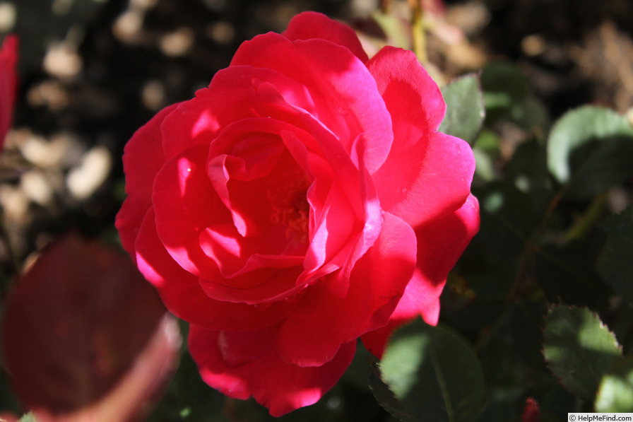 'Winnipeg Parks' rose photo