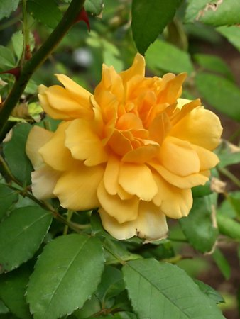 'Sunshine (polyantha, Robichon/Cutbush, 1927)' rose photo