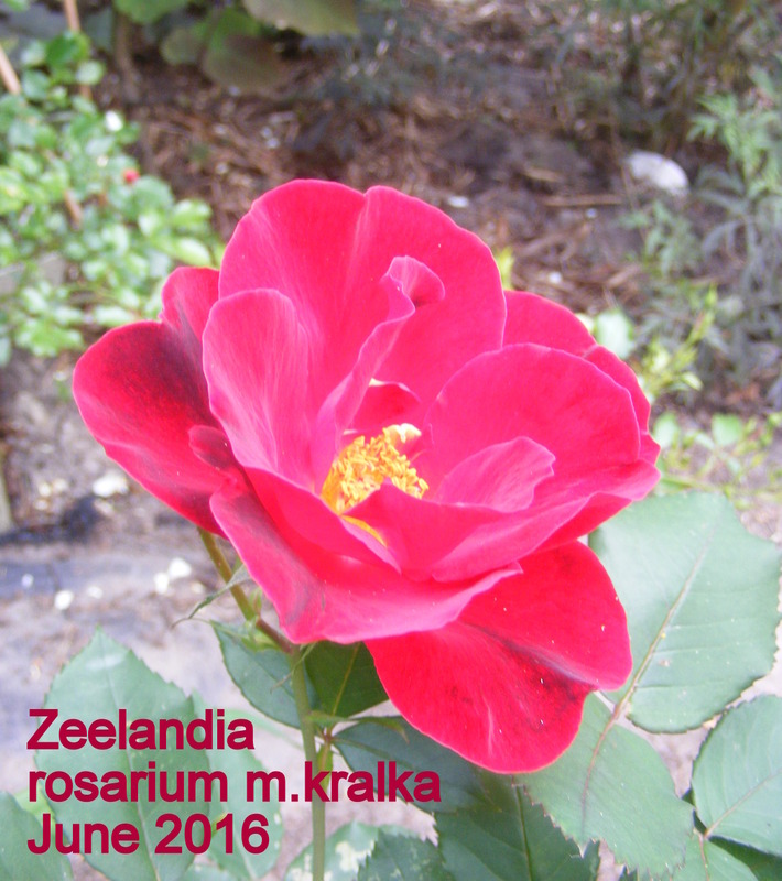 'Zeelandia' rose photo