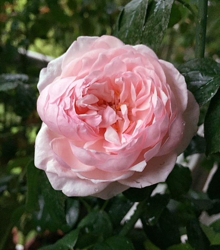 'St. Ethelburga' rose photo