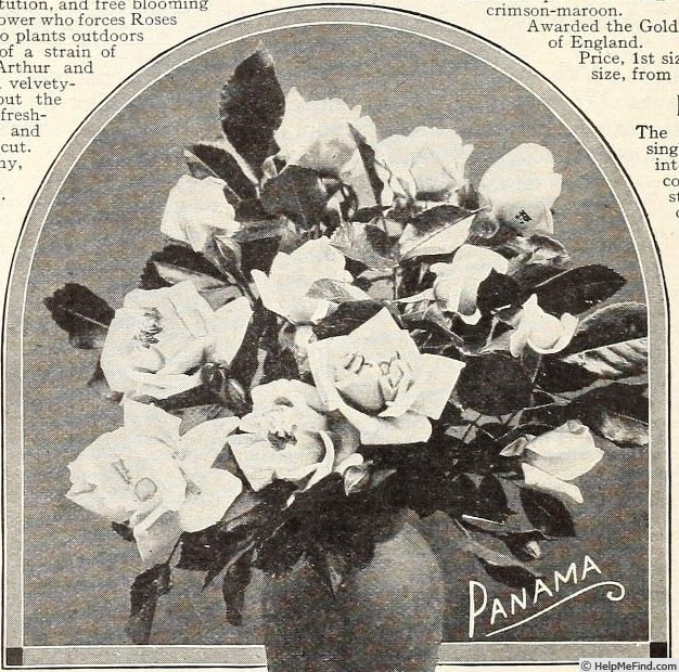 'Panama (hybrid tea, Cook, 1913)' rose photo
