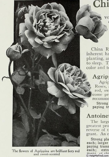 'Agrippina' rose photo