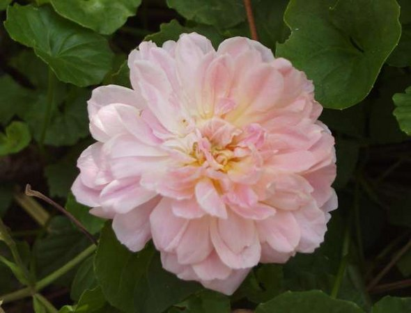 'Borderer' rose photo